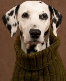Cachorro labrador com tosse