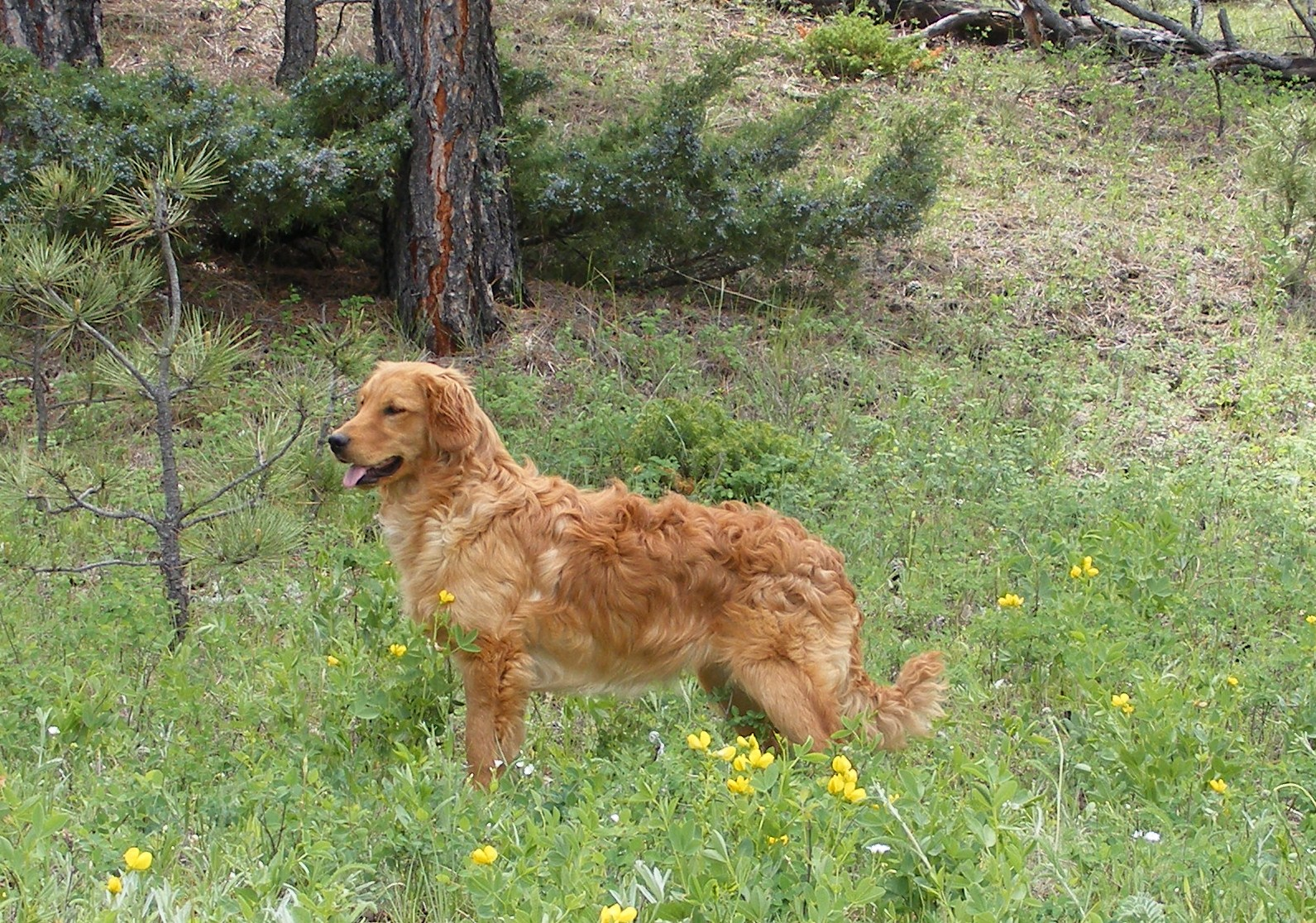 Golden Retriever Dog: Miniature Golden Retrievers