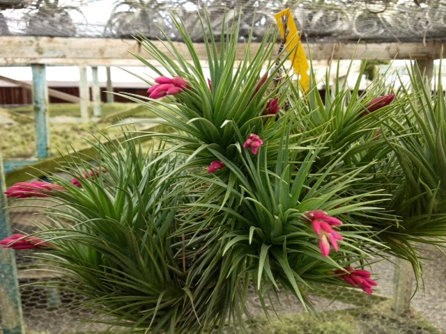 Weekly airplant bloomlist plants in bloom air plant Tillandsia hybrids