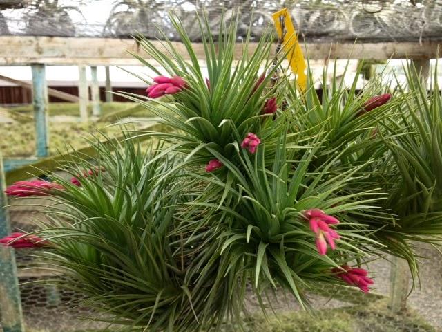 Weekly Airplant Bloomlist Plants In Bloom Air Plant: tillandsia hybrids