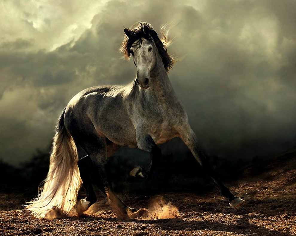 NOBILANGELO: PHOTO - ANDALUSIAN HORSE