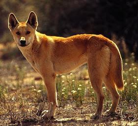 Cainele Dingo