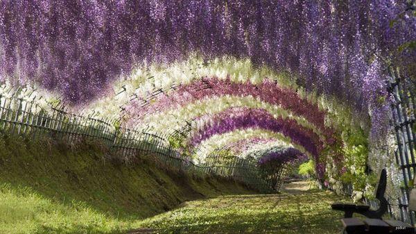 5 Jalan Kecil Terunik di Dunia: Terowongan Wisteria, Jepang