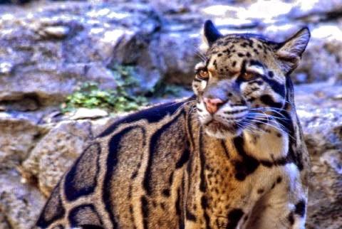 Bornean Clouded Leopard Cat