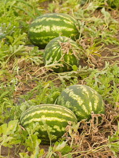 watermelons in field