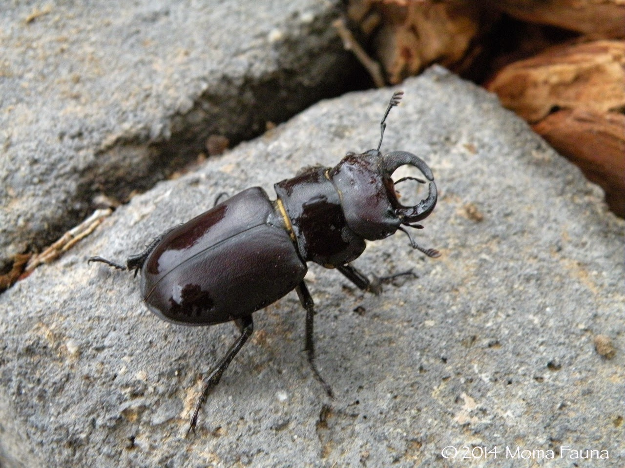 Probably a Cottonwood Stag Beetle (Lucanus mazama)