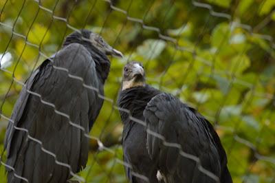 Maymont has buzzards.  #RVA