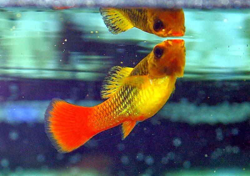 Platy_Fish_3.jpg