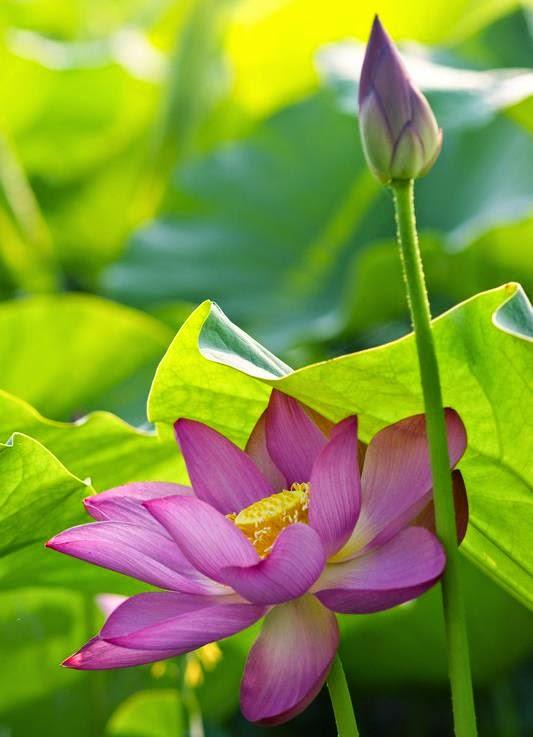 Chùm thơ hay và hình ảnh đẹp về Hoa Sen