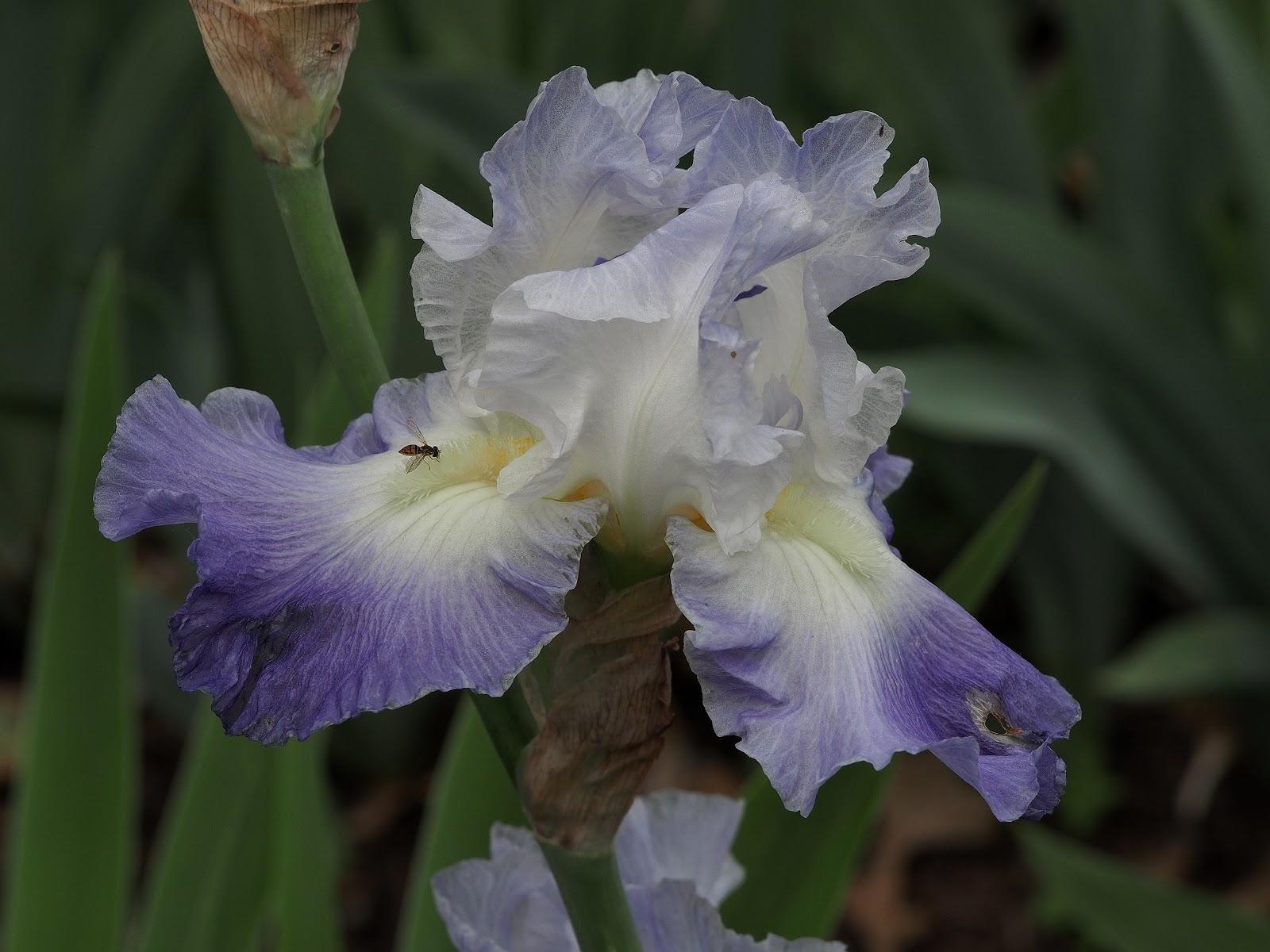 Gathering Nectar, #iris #lavendarandwhite #bearded #flower #flowerpower #elizabethpark #hartfordct