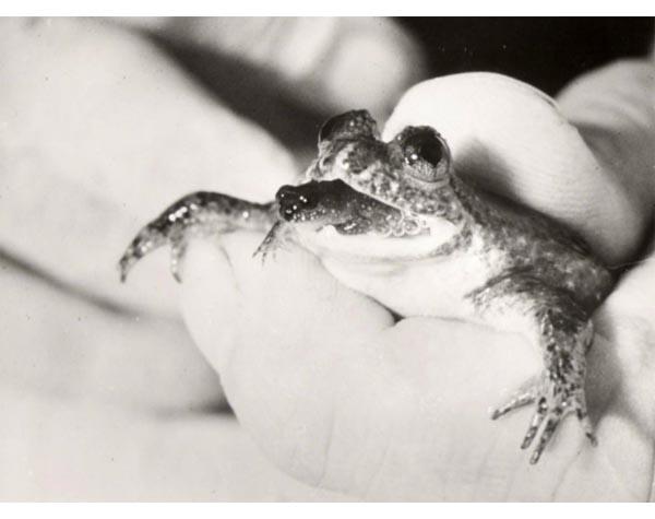 Gastic Brooding Frog
