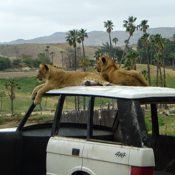 No, not Africa – Lions on display at the San Diego Zoo Safari.