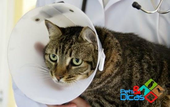 Como cuidar de um gato após cirurgia