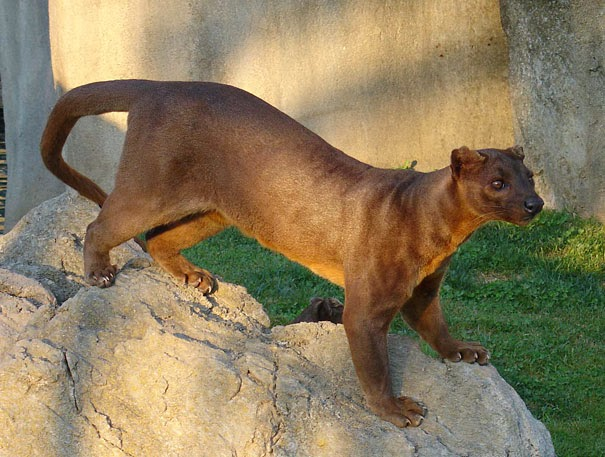 The Fossa - 22 Bizzarre Animals You Probably Didn't Know Exist