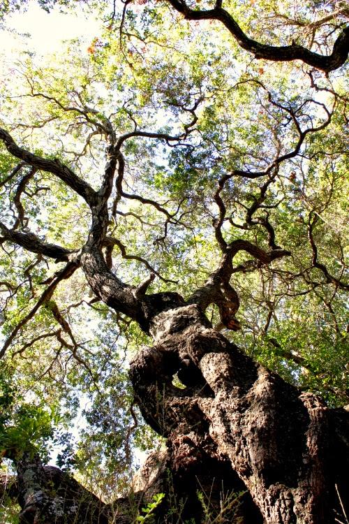 san luis obsipo - tree