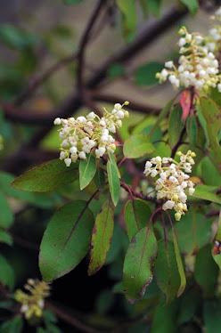 Texas Madrone, Arbutus xalapensis