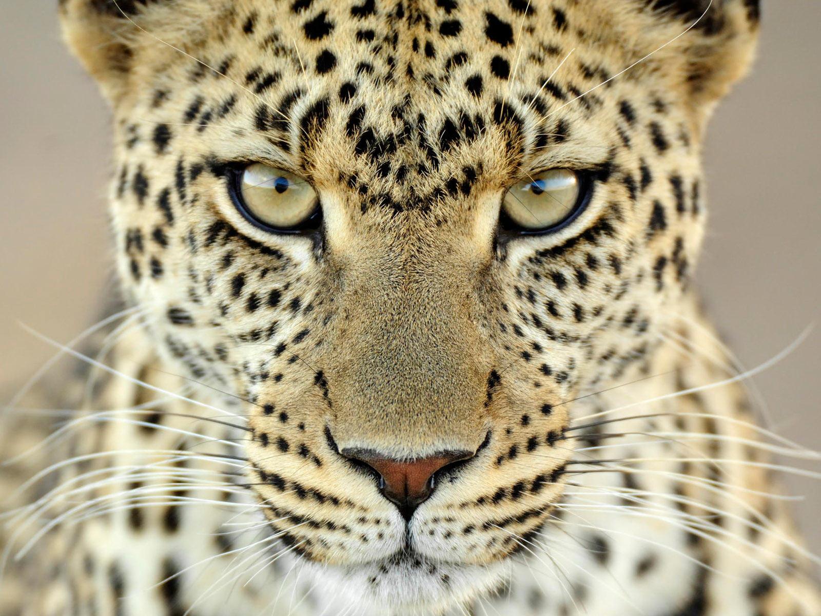 Leopard_big_cats.jpeg