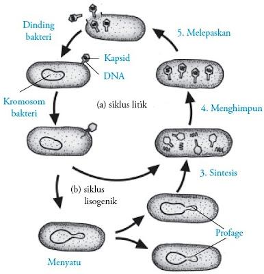Siklus litik dan lisogenik Bakteriofag