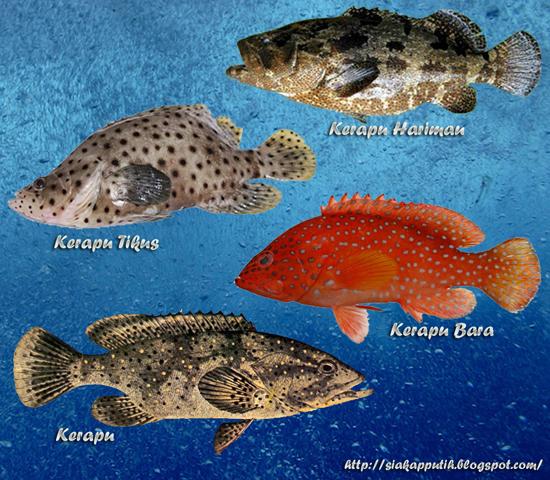 Jenis ikan kerapu yang banyak terdapat di Malaysia