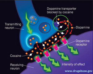 side effects of chronic cocaine use Which can lead to tears and ulcerations 7 many chronic cocaine users lose their long-term cocaine use 7,18 there have term effects of cocaine use.