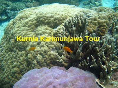 terumbu-karang-merah-di-karimunjawa
