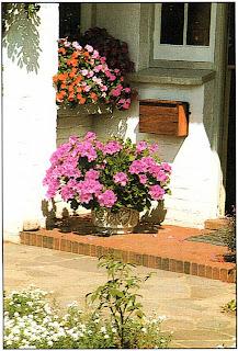 Эта крупная королевская пеларгония содержится дома как комнатное растение, но, поставленная у дверей в полном свету, привлечет внимание прохожих