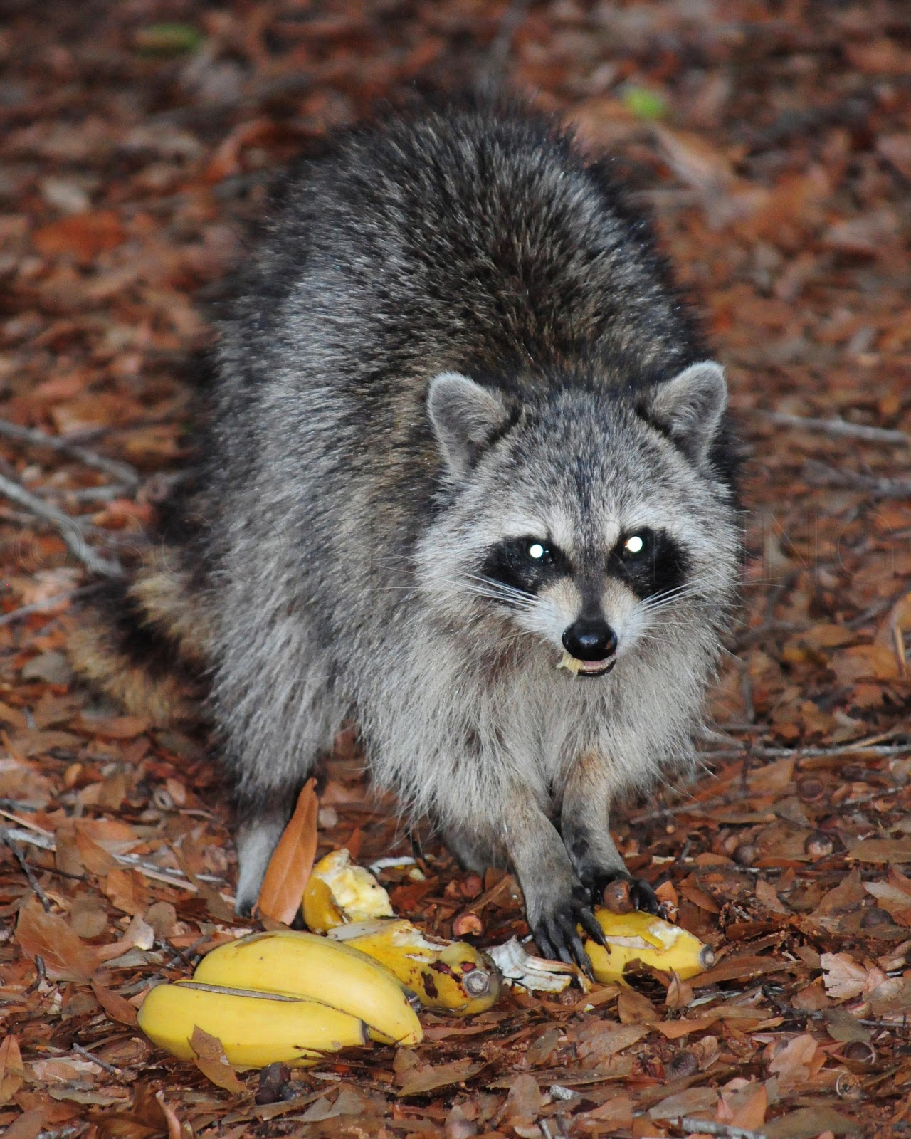 One Of My Newest Tenants. This Raccoon Appeared Saturday In My Back Yard In  Orlando. I Fed It Some Bananas. It Seemed Happy With Its Meal.