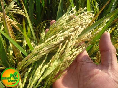 FOTO : Bulir padi padat berisi