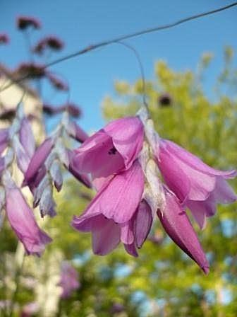 Le jardin des grandes vignes dierama pulcherrimum canne p che des anges - Canne a peche des anges ...