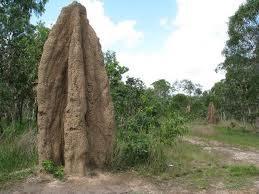 Foto Rumah koloni semut raksasa