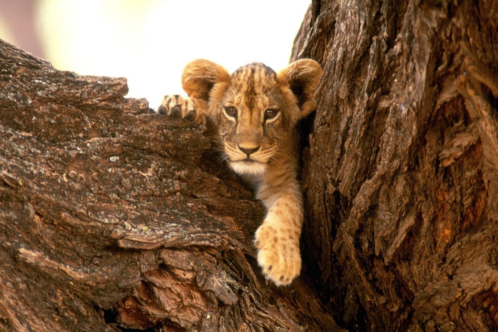 http://4.bp.blogspot.com/-C-b0_7u47gA/TnhpvV8XEGI/AAAAAAAAA4s/OhI9ZhMBwhM/s1600/lion_cub_wallpaper+1.jpg