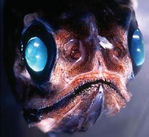 viperfish 02 ΔΕΙΤΕ: Τα πιο παράξενα πλάσματα που έχουν βρεθεί στην θάλασσα!