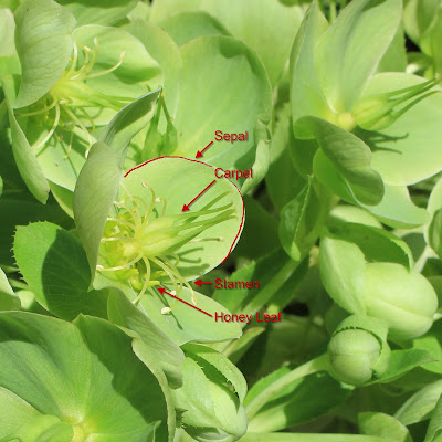 Helleborus Flower with Honey Leaves