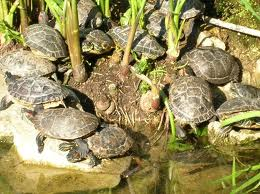 Il giardino delle naiadi laghetti in letargo for Letargo tartarughe acqua