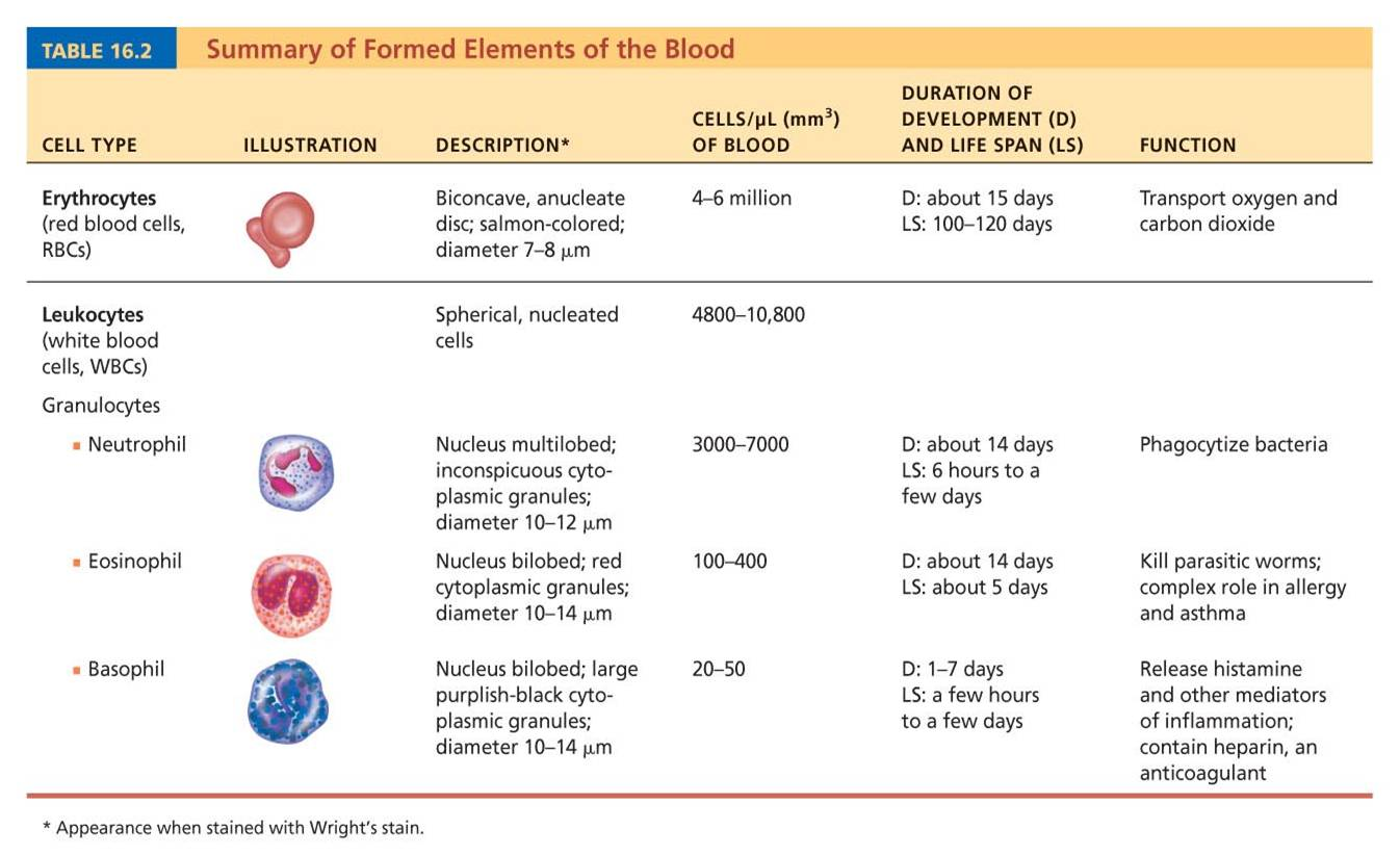 leukocytes and erythrocytes comparison Blood is a specialized body fluid it has four main components: plasma, red blood cells, white blood cells, and platelets blood has many different functions, including: transporting oxygen.