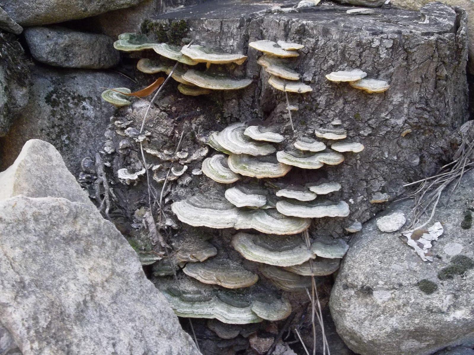 Flored 39 ard che champignons de souche comestibles - Les champignons de jardin sont ils comestibles ...