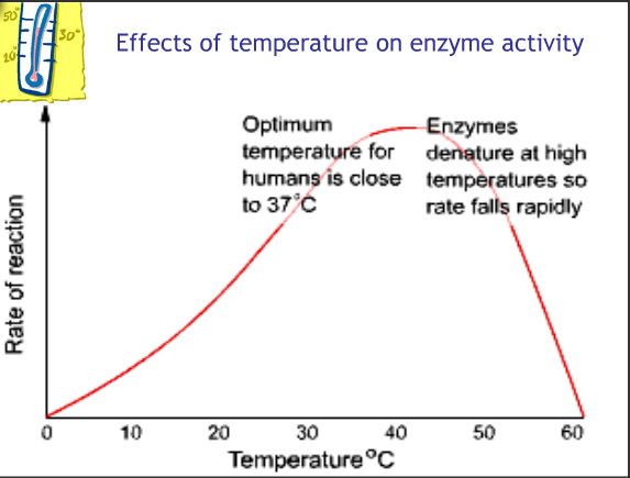 temperature effects in enzyme activity It is important to understand how enzymes work because they lead to the understanding of the functions of cells and manipulations of enzymes one of such factors that affect the enzyme activity is temperature the widely accepted classical model on how temperature affects enzymatic activity states.
