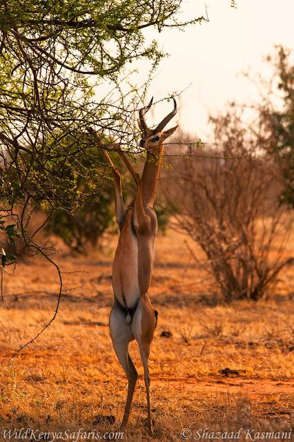Gerenuk, Giraffe Gazelle, Tsavo East, Tsavo Safari, Wild Kenya Safaris, Wildlife Diaries,