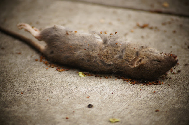 picture of a dead mice