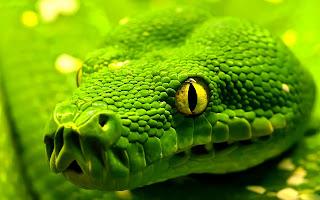 Green Snake Beast Yellow Eyes Animals Reptiles HD Wallpaper