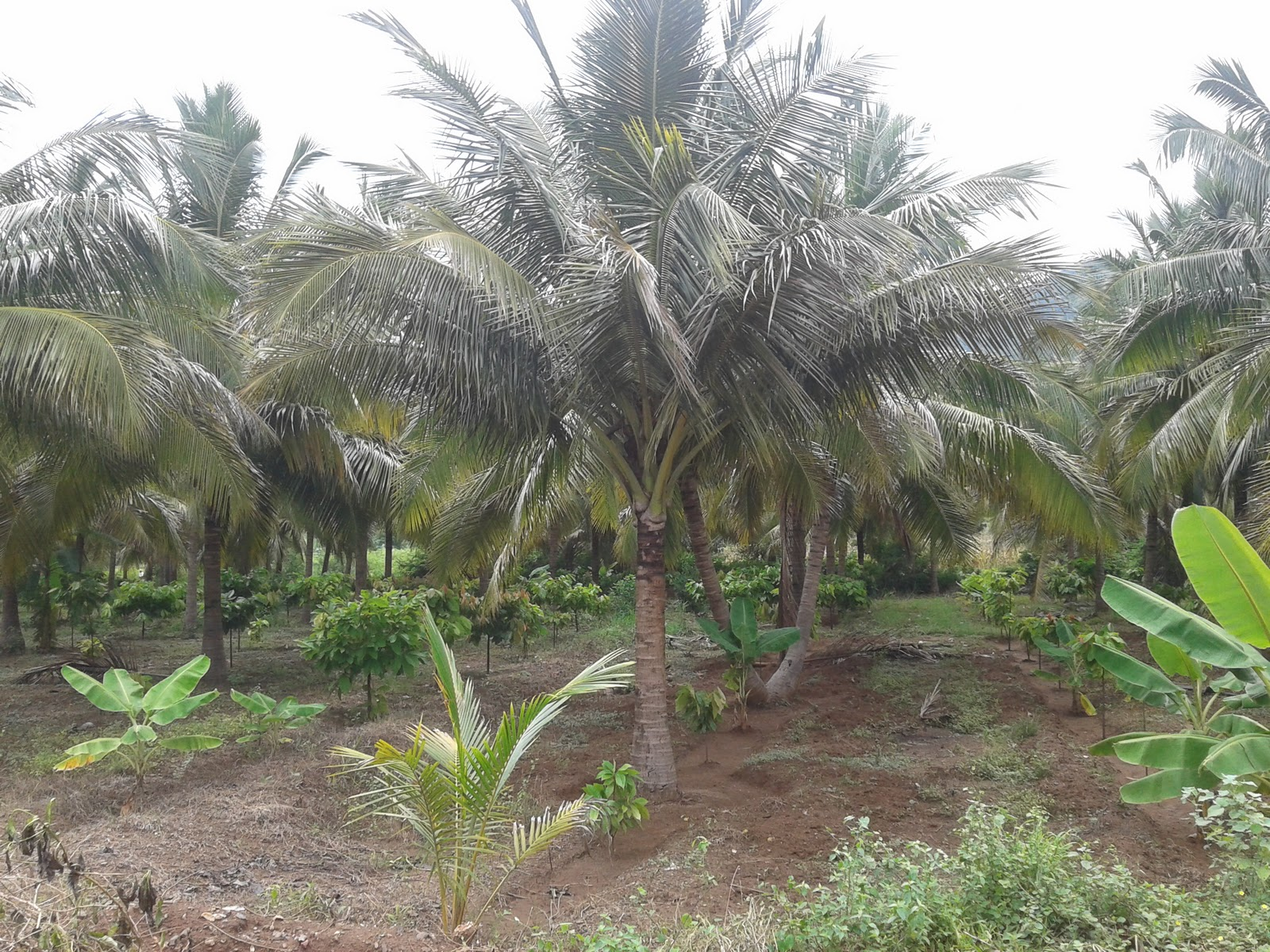 tree plantation A sustainable tree plantation conserves native ecosystems, enhances local  welfare and is financially profitable well designed tree plantations can also help .