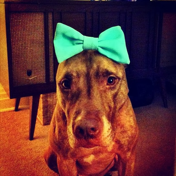 Scout the pit bull balances stuff on his head (30 pics), stuff on Scout's head, scout with bow tie on his head