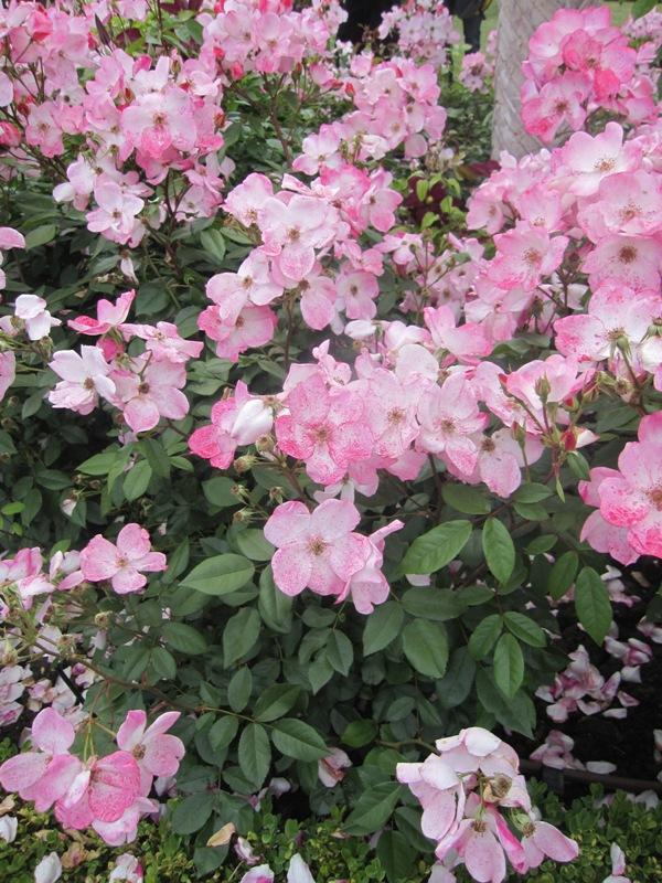 Extrait belles roses sans souci - Comment couper un rosier ...