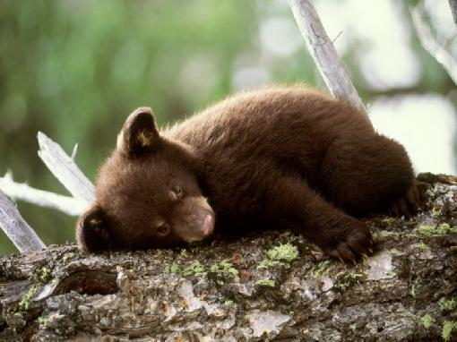 Edge Of The Plank: Cute Animals: Baby Bear Cubs