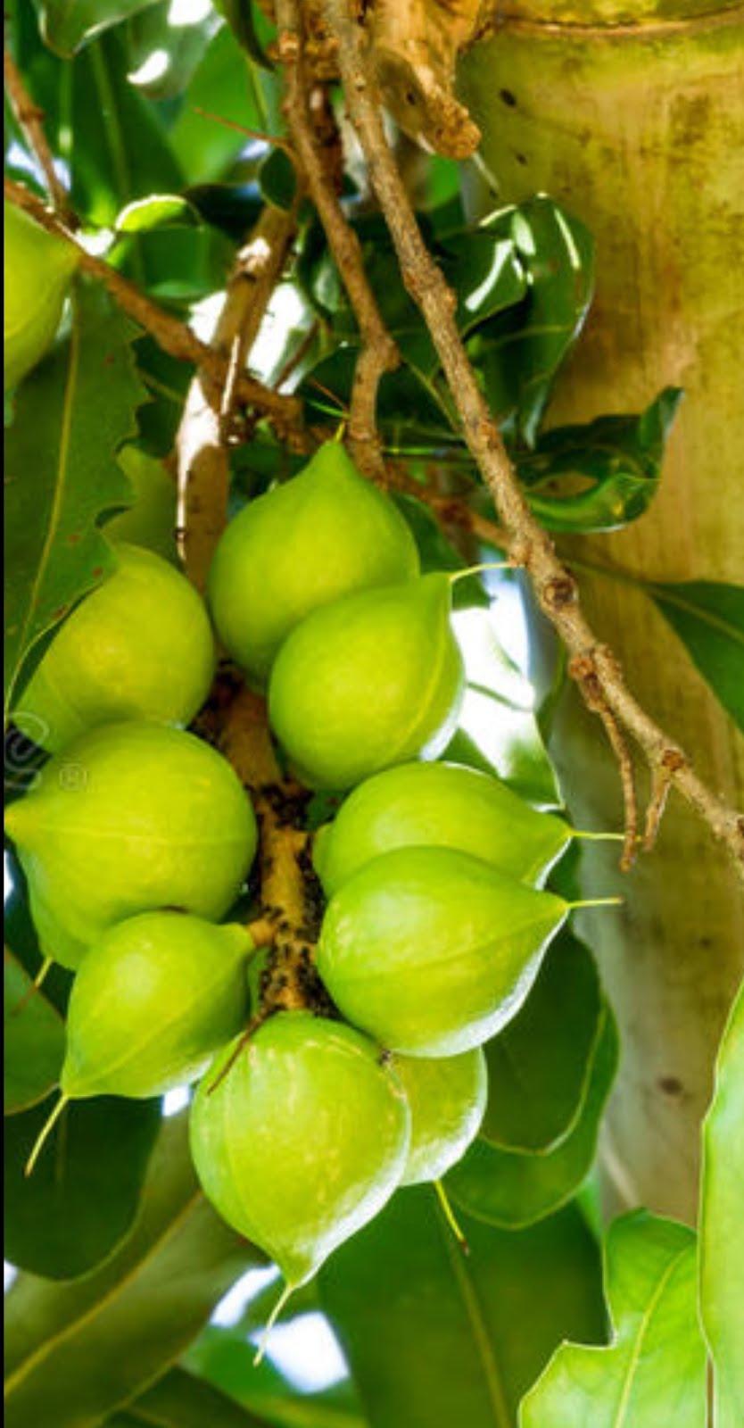 Nuez de macadamia poco explotada en México