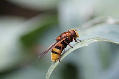 Volucella zonaria female by Mike Toms