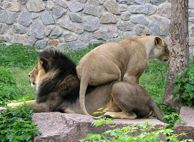 lioness sits on male lion, funny animal pictures of the week