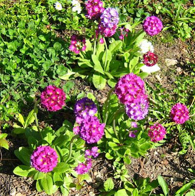 Purple Drumstick primrose flowers-Primula denticulata
