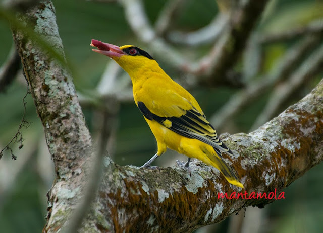 Black-Naped Oriole(Oriolus chinensis)