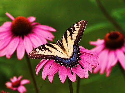 Beautiful Butterfly Normal Resolution Wallpaper 19